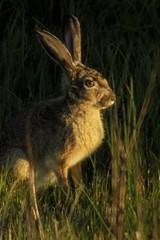 Evening rabbit (wolfpix) Tags: rabbit mammal rodent nikon hare conejo lapin hace hase kaninchen hasen kani jackrabbit hares hazen kanin lebre krlik livre livres lepri liebre    kuneho liebres lepuscalifornicus lebres  nikonfieldscopeed78