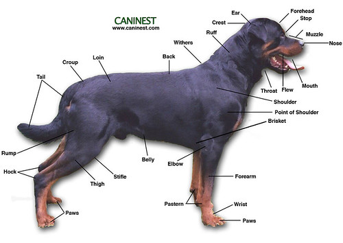 Basic Canine Anatomy