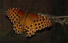 Mariposa moteada (Lombino) Tags: nikon mariposa d300 reservaebanoverde