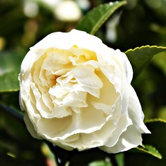 """Celebrate today with a smile."" (martian cat) Tags: macro camellia allrightsreserved onblack allrightsreserved martiancatinjapan diamondclassphotographer flickrdiamond allrightsreserved thesuperbmasterpiece newgoldenseal martiancatinjapan martiancatinjapan"