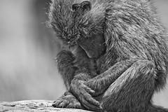 Afternoon nap (Gakige) Tags: travel sleeping wildlife safari baboon samburu wildanimals eastafrica samburunationalreserve nanertak njambindiba
