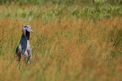 Shoebill / Balaeniceps rex (Sergi Aris) Tags: birds uganda shoebill wildlifeafrica birdsafrica picozapato birdingafrica
