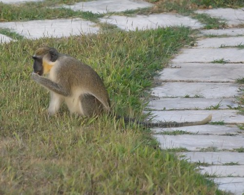 African Green Monkey from Barbados