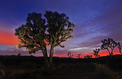 Light Painting the Night Joshua Tree National Park (Ireena Eleonora Worthy) Tags: california ca trees sunset usa lightpainting night forest colours desert joshuatree twentyninepalms joshuatreenationalpark nightpainting mountainhighworkshops stevensieren