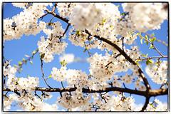 Signs of Spring (Leo Druker) Tags: flowers trees nature festival washingtondc washington spring districtofcolumbia bluesky cherryblossom cherryblossoms tidalbasin cherryblossomfestival nikkor85mm14 washingtondcspring washingtondccherryblossom nikond3 washingtoncherryblossomsfestival