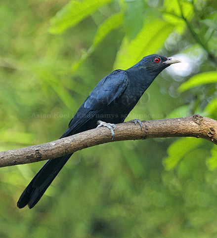 Birds of Sri Lanka , Species No 74