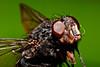 Llegó la linda primavera (jaliker) Tags: macro mosca pelos pelitos moscardon moscon jaliker