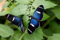baudchon-baluchon-mindo-papillons-7