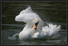 Swan---tsunami (jd.echenard) Tags: nature swan tsunami attitude schwan oiseau cygne cisne bielersee nikond200 lacdebienne antiparasites