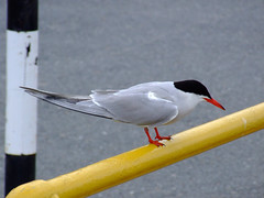 """Feeding in the harbour (nz_willowherb) Tags: see scotland flickr tour harbour visit artic tern shetland lerwick mainland tirrick to"""" """"go visitshetland seeshetland goptoshetland visitlerwick gotolerwick seelerwick"""