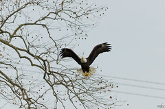 Untitled (Man_K5) Tags: eagle baldeagle sky usa maryland scenic bird conowingo darlington bif birdinflight nikond7000 sigma150500 telephoto wildlife raptor