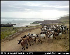Goats Chillin' at Dhalkut Beach, Dhofar (Shanfari.net) Tags: sea beach nature natural ericsson sony goats oman salala zufar salalah sultanate dhofar   khareef      dufar       governate  dhufar dhalkut c905 dofar dalkut  dalkoot   dhalkoot thofar thufar