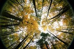 fish tree (IAmTheSoundman) Tags: trees fall yellow jake fisheye 8mm jakob peleng barshick jakebarshick