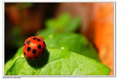 微距-瓢虫