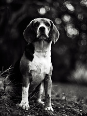 .a particular frienD (27147) Tags: portrait dog beagle pen garden thailand 50mm village bokeh voigtlander olympus thai f11 nokton ep1 chonburi 27147 casalunar highqualitydogs