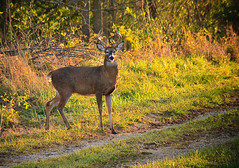 Phffft!!! (shadarington) Tags: nature animals canon eos illinois wildlife deer antlers rack bruiser trophy normal bloomington buck brute whitetail whitetailed antler rut comlarapark wallhanger 40d mcleancounty