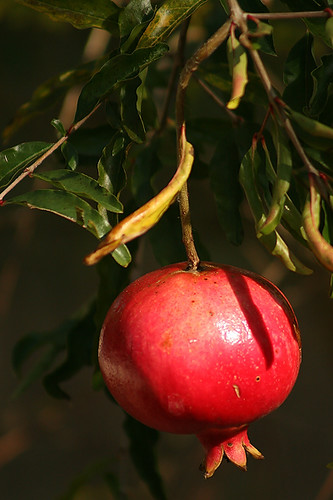 Pomegranate (Web)