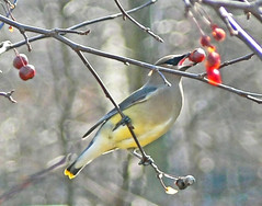 Cedar Waxwing with Crab Apple (JacquiTnature) Tags: tree bird nature birds mask wildlife flock panasonic waxwing cedarwaxwing fruittree crabapple cedarwaxwings birdfood bombycillacedrorum malus wildlifephotography