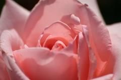 Adelaide Botanical Gardens - Delicate Pink (Heaven`s Gate (John)) Tags: pink flower macro nature rose closeup garden botanical australia adelaide delicate southaustralia botanicalgardens johndalkin heavensgatejohn delicatepink