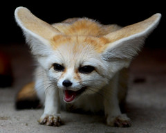 fennec fox (floridapfe) Tags: animal zoo nikon korea fox everland fennecfox fenne vosplusbellesphotos