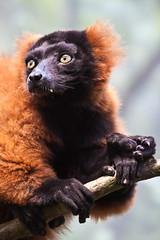 Red Ruffed Lemur (alan shapiro photography) Tags: animal lemur bronxzoo canonrebel fangs madagascar 2009 redruffedlemur alanshapiro ashapiro515 canonrebelt1i lemurportrait ©2010alanshapiro alanshapirophotography wwwalanwshapiroblogspotcom ©2010alanshapirophotography