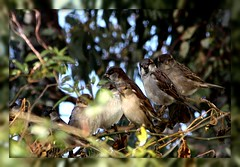 Can You Tell If They are Taking Pictures of Us? (prayerfriends) Tags: california blue trees sky brown white green nature leaves birds wings eyes faces bokeh branches feathers tan dairy sparrows staring hilmar beaks tailfeathers mercedcountypicnik birdbreasts
