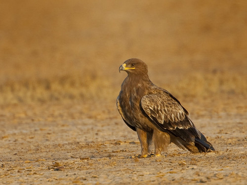 Steppe Eagle in Banni Grasslands