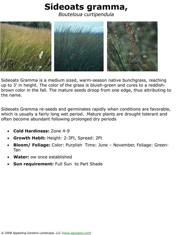 Sideoates Gramma Grass.jpg