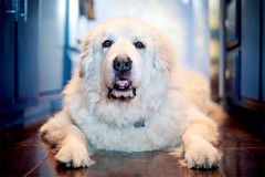 lola (mosippy) Tags: dog kitchen female lola naturallight greatpyrenees bigdog whitedog laurelcanyon 5014 petphotography 5dii