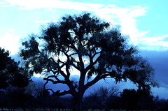 Blued Cottonwood (Shirley Buxton) Tags: nikon nikond50 cottonwoodtree hugetree saffordaz shirleybuxton
