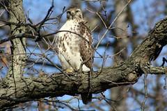Mr. Intensity (Laura Rowan) Tags: tree canon rebel spring intense branch afternoon hawk arboretum raptor stare arb mortonarboretum