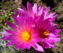 it's gonna be a bright, bright sunshiny day (azhiker_grrl) Tags: pink cactus flower succulent spring explore bloom boycethompsonarboretum bta phototour remindsmeofasong calendarcontender