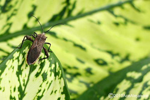 kissing bug. Kissing Bug