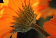Unexpected Drops (MarietteDodd) Tags: orange flower garden flora petal gerbera