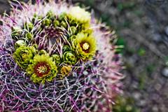 Anza Cactus 002