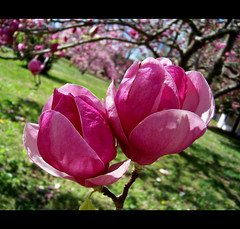 Spring All  Around Us (Jan Jan's) Tags: pink trees flower green nature petals blooms 1001nights tuliptree japanesemagnolias spring2010 1001nightsmagiccity