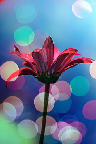 フリー画像| 花/フラワー| ペタルス| レッド/花|        フリー素材|