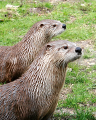 I wish it were a little otter (mind the goat) Tags: park wet swim nose wildlife trouble otter otters newforest tarka