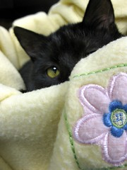 Tipper the Black Girl Cat, Being Coy Playing Peek-a-Boo (Pixel Packing Mama) Tags: bcb heartlandhumanesociety pixelpackingmama blackcatspool dorothydelinaporter montanathecat~fanclub reallyunlimited theoneblackcatpool ceruleanthecat~fanclub reallyunlimitedpool 125viewspostupto5perdaypool allcatsallowedpool blackanimalspool blackcatspathpool monochromepetspool 50plusphotographersaged50andbetterpool photosfrom20002010pool pixuploadedfirsthalfof2010set pixtakeninfirsthalfof2010set picturestakenwithcanonpowershota2000isin2010set catskittensstartingjanuary12010set obsessivephotography30perdaypool pixelpackingmama~prayforkyronhorman photosfrom20102020pool oversixmillionaggregateviews over430000photostreamviews