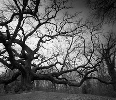Oak (filippotasca) Tags: film mediumformat landscapes tmax 120film 6x7 toscana zonesystem manfrotto blackandwhitephotography filmphotography mamiyarb67pros blackandwhitelandscape manfrottotripods filippotasca