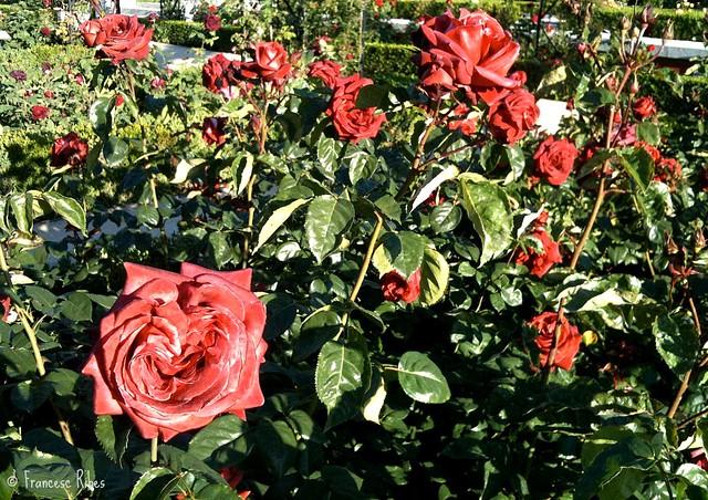 (347) Rosa terracota