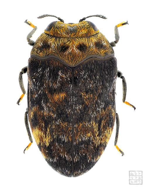 Trachys variolaris