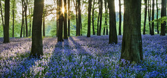 IMG_5435 (Simon J Byrne) Tags: flowers trees shadow bluebells contrast sunrise canon 50mm woods f14 hampshire panoramic 5d beech mkii micheldever