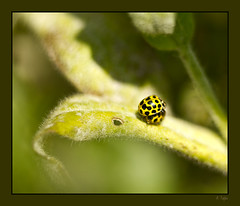 Gelbe Marienkfer beim Stelldichein (Seahorse-Cologne) Tags: macro yellow fauna tiere bugs gelb makro nahaufnahme insekten kfer marienkfer naturesfinest