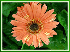 Gerbera jamesonii - apricot/salmon rays with brown disk florets and yellow trans florets