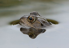 Eye eye (Cally Captures) Tags: reflection frog water wildlife