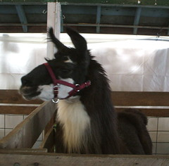 coolest llama