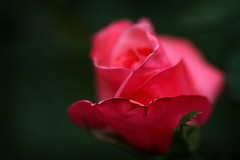 thank you:  294/365 (helen sotiriadis) Tags: pink red black flower macro green rose closeup canon petals published dof bokeh fuchsia depthoffield 365 canonef100mmf28macrousm canoneos40d toomanytribbles