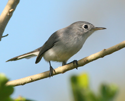 Blue-gray Gnatcatcher 5-20091023