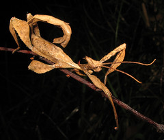 Eucalyptus stick insect (Evan Pickett) Tags: brown insect wildlife australia camouflage nsw newsouthwales eucalyptus stickinsect phasmatodea insecta bullahdelah nerongstateforest nerong